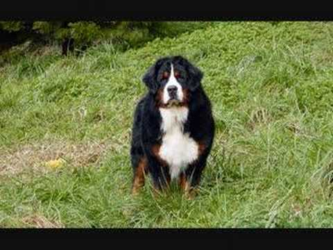 Bernese Mountain Dog 'A New Day'