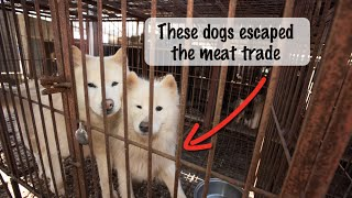 From Cage to Couch: Dogs rescued from a Korean Meat Farm