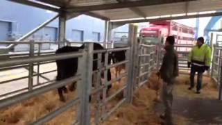 Bovin export déchargement génisse laitière port de Sète
