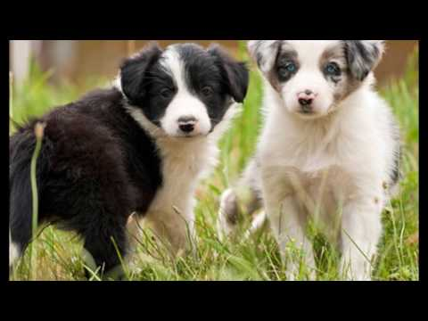 animals Border Collie Dog video