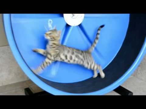 Thumbnail for Cat Video Awesome Cat Wheel
