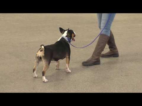 Miniature Bull Terrier BELLALU CATUVELLAUNI