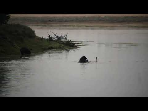 Grizzly Kills Bull Elk In The Yellowstone River, Hayden Valley, Sept.18 ,2020