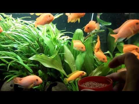 Malawi Cichlid fish feeding times! Tetra Color 2 in1 Cichlid Large Pellets!