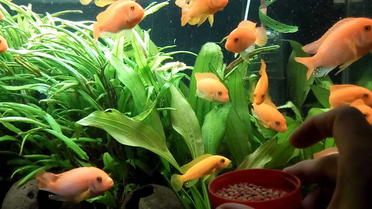 Malawi Cichlid fish feeding times! Tetra Color 2 in1 Cichlid Large ...