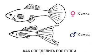Как определить пол у ГУППИ аквариумные растения почтой
