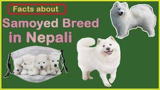 Samoyed Breed in Nepal || Facts about Samoyed dog breed || Samoyed बारे जन्नुहोस केहि कुराहरु ||