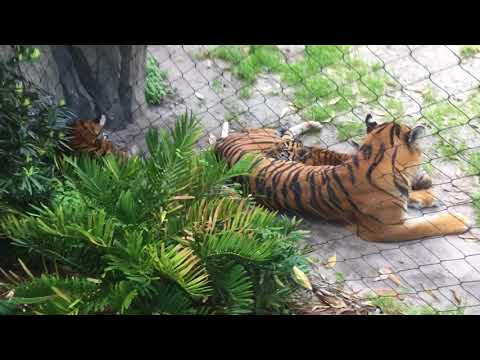 A Sumatran tiger family at the Jacksonville Zoo And Gardens