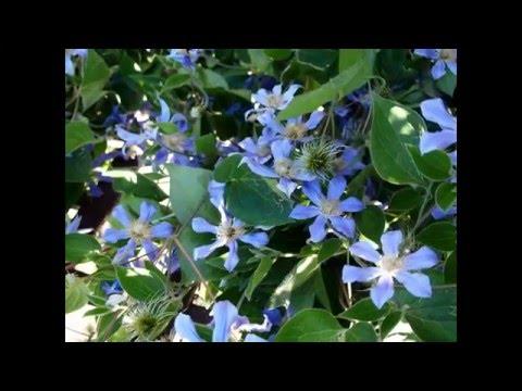 Сад в синих тонах.