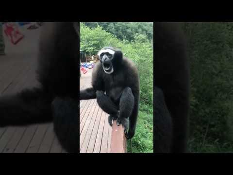Interesting Sounds That a Gibbon Makes