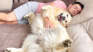 Golden Retriever loves to relax with his human on the couch