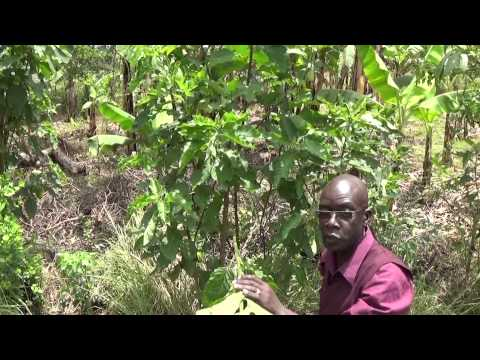 Ecological Organic Agriculture Initiative - Uganda: Exploring the use of Bio-rationals in pest ctrl