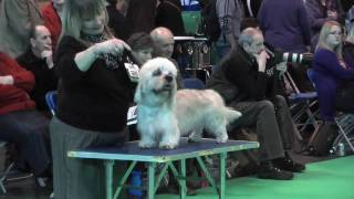 Dandie Dinmont Terriers at Crufts 2010 - Special Junior Dog