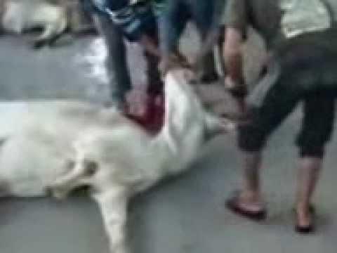 Cruelity to cows