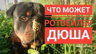 ГОДОВАЛЫЙ РОТВЕЙЛЕР ДЮША И ЕГО ИГРЫ.Воспитание и дрессировка собак