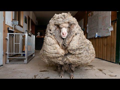 إنقاذ خروف أسترالي بعد جز 35 كيلوغراماً من صوفه  - نشر قبل 54 دقيقة