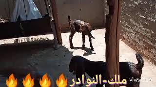 دبابه شاميه وراها دكر ونتايه قبرصي من الابطال ..طنطا..01153553100..01273943511