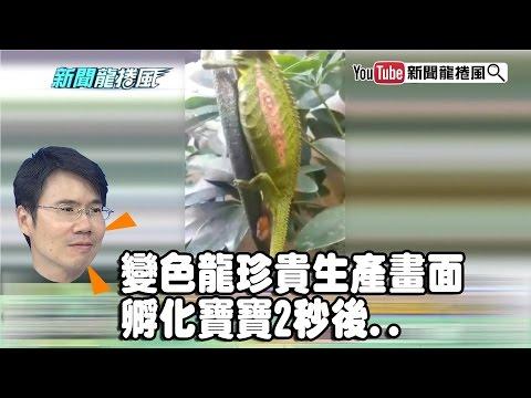 《潘彥宏》變色龍珍貴生產畫面 孵化寶寶2秒後..