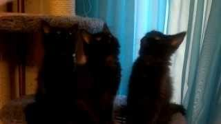 Черные котята мейн кун
