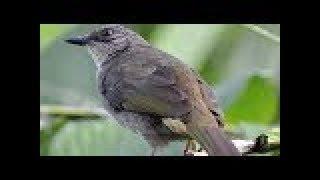 Kapas Tembak Betina Cocok Untuk Pancingan Kapas Jantan | Kicau Burung