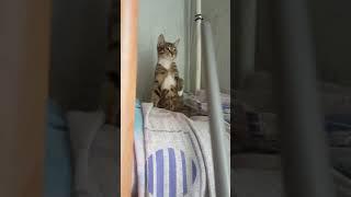 Кошка с пылесосом играет