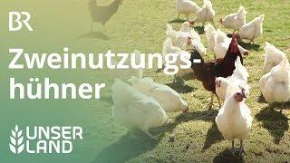 Statt Küken töten: Eier und Fleisch vom Zweinutzungshuhn | Unser Land | BR