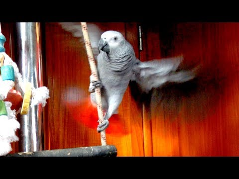 SSL 173 ~ TIKI Chatter ~ 18month African Grey Parrot First Words