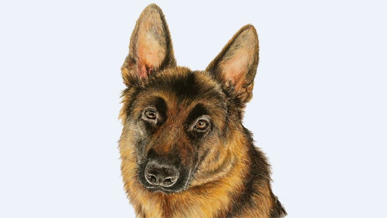 Drawing A German Shepherd With Colored Pencils Youtube - German-shepherd-drawings