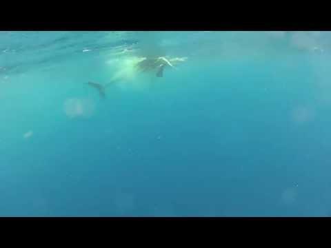 Mako Shark Eats Sailfish