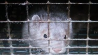 Springbrook Fur Farm | Ontario, Canada | undercover footage