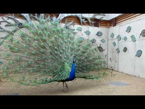 супер веселая песня )) аее - peacock скачать песню mp3