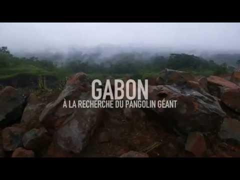 Gabon : à la recherche du pangolin géant