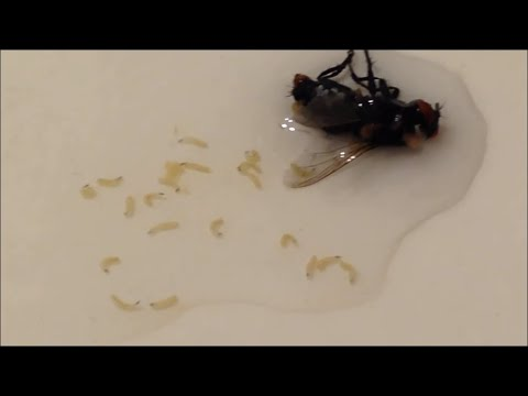 Maggots: Fly being Forced to birth