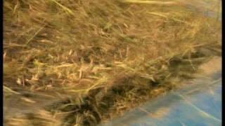 Rice farm in the Mekong Delta Vietnam by Asiatravel.com