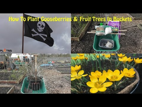 How To Plant Gooseberries & Fruit Trees In Buckets