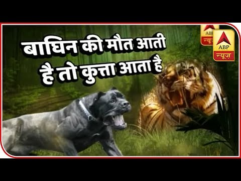 Italian Sniffer Dogs Hired To Hunt Killer Tigress In Yavatmal, Maharashtra | ABP News