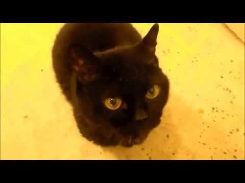 Rachel The Bombay Cat - Life in Quarantine March 2020