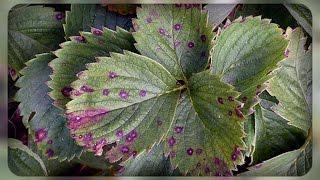видео Листья клубники краснеют – методы лечения