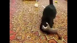 Weasel attacking cat : Weasel vs Cat Who will win?