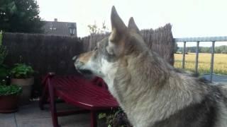 growling Wolfdog