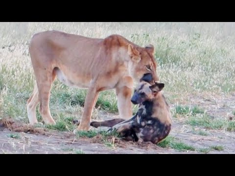 wild-dog-plays-dead-to-escape-lion