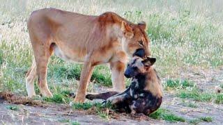 wild-dog-plays-dead-to-escape-lion
