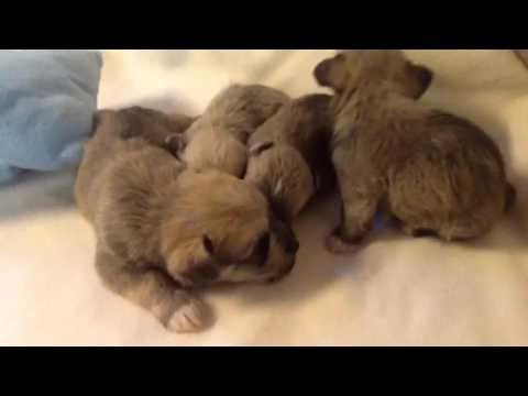 Miniature schnauzer X Bichon puppies