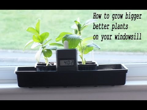 HGV How to grow bigger better plants on your windowsill start to finish.