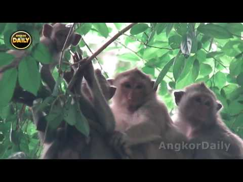 Why Pig- Tail Baby Monkey Bored Come to Play With Cute Boy/ Sleeping Baby Monkey..Angkor Daily 608