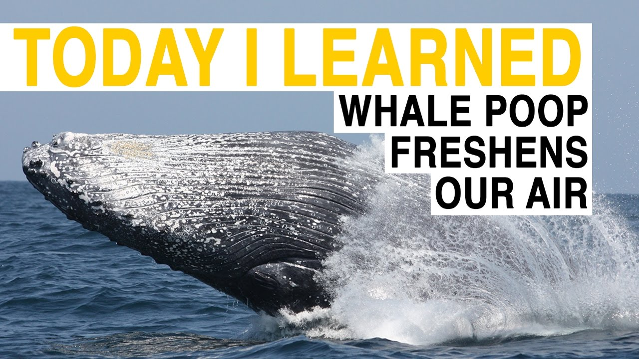 TIL: Whale Poop Freshens Our Air | Today I Learned