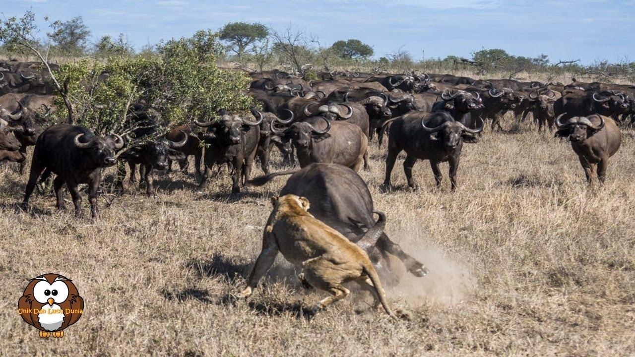 Download Nasib Sial Singa Saat Berburu Kerbau Liar dalam Kawanan Besar