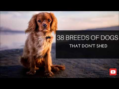 38 Breeds of Dogs That Don't Shed
