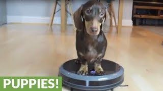Mini dachshund enjoys ride on robot vacuum