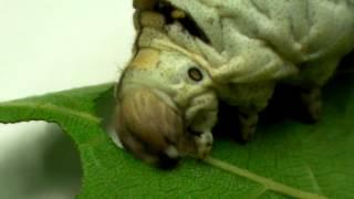 カイコ(蚕)がエサを食べる様子です。 (小学校3年生理科教材)